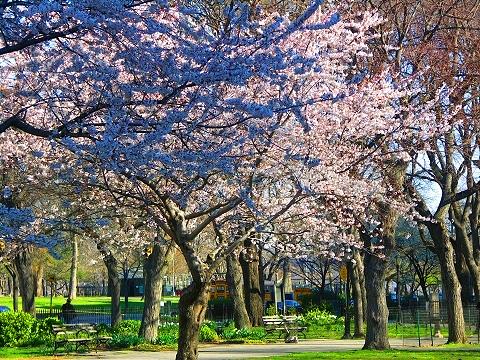 NY- Sakura Park Cherry Blossoms