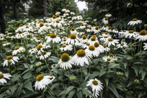 NY- Central Park Daisies